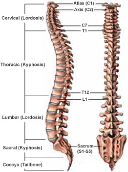 spinal_curves_regions-1